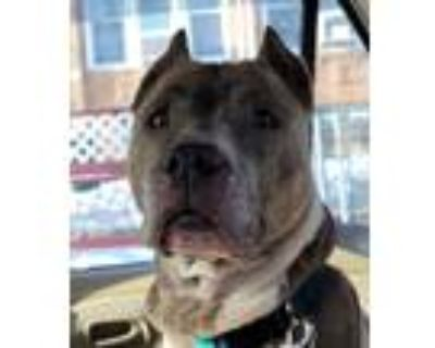 Adopt Mocha a Brindle American Staffordshire Terrier / American Pit Bull Terrier