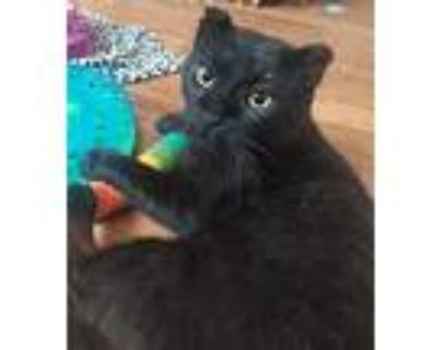 Ted, Domestic Shorthair For Adoption In Morgantown, West Virginia