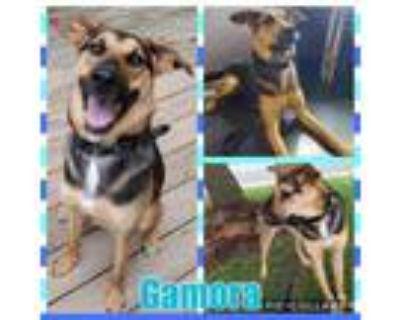 Adopt Gamora a German Shepherd Dog