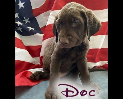 Labrador Retriever Puppies - Chocolate