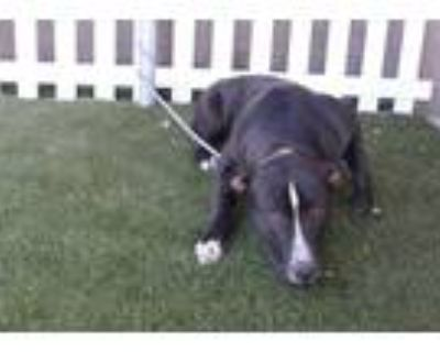 Adopt *TATER a Black - with White American Pit Bull Terrier / Mixed dog in