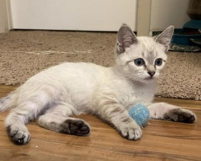Male Domestic Short Hair named Magneto available for adoption