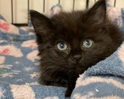 Marguerite - Domestic Medium Hair - Kitten Female
