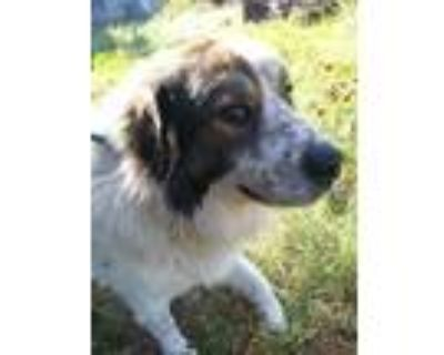 Adopt Chester a White - with Brown or Chocolate Great Pyrenees / Australian