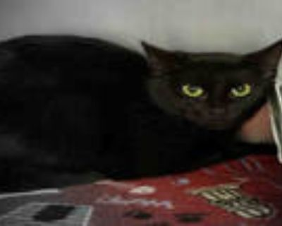 Adopt SHELLY a All Black Domestic Shorthair / Mixed (short coat) cat in