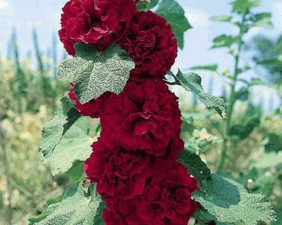 ISO Scarlet Double Hollyhock