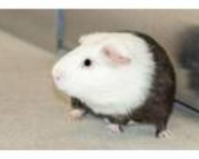 Adopt Tac a Guinea Pig