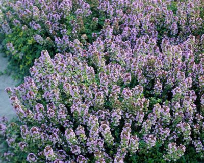 BEAUTIFUL THYME - GROUND COVER - GREAT FOR ROCK GARDEN!