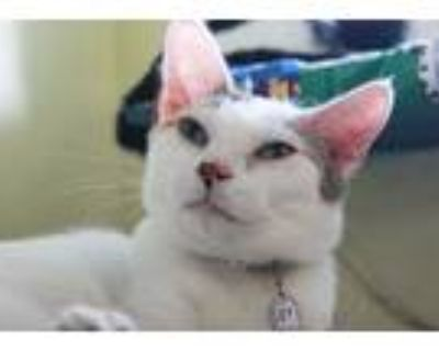 Adopt Ms. Marie a Calico or Dilute Calico Calico (short coat) cat in New