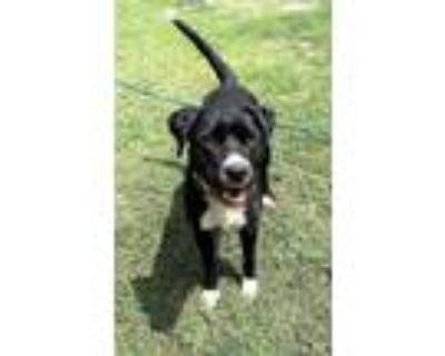 Adopt Bea4685/ Starfish a Labrador Retriever