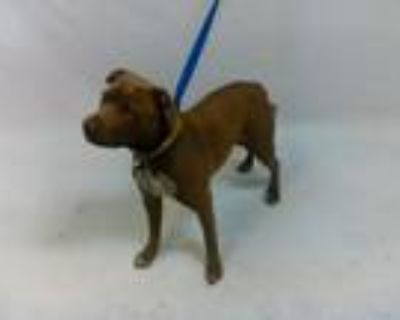 Adopt 21-07745 a Pit Bull Terrier