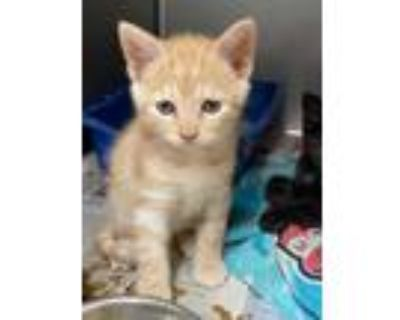 Adopt Brad Pitt a Orange or Red Tabby Domestic Shorthair (short coat) cat in