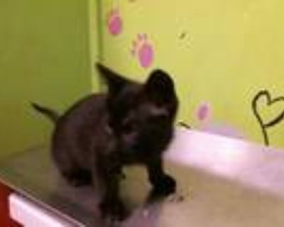 Adopt TIMONE a All Black Domestic Shorthair / Mixed (short coat) cat in Houston