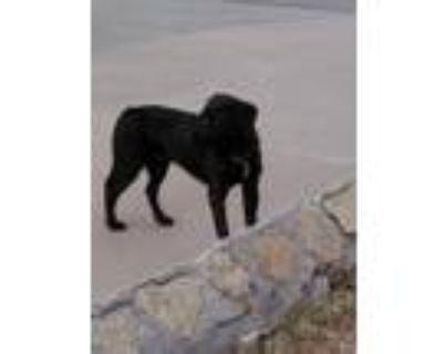 Adopt 46505752 a Black Labrador Retriever / Mixed dog in El Paso, TX (31525809)