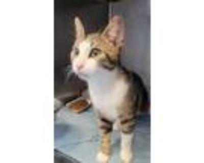 Adopt 47898525 a Domestic Short Hair