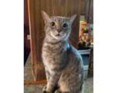 Adopt Amadeus a Brown Tabby Domestic Shorthair (short coat) cat in Louisville