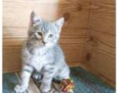 Adopt COLESLAW a Domestic Short Hair