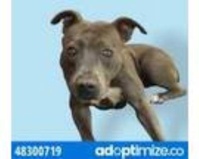 Adopt 48300719 a Gray/Blue/Silver/Salt & Pepper American Pit Bull Terrier /
