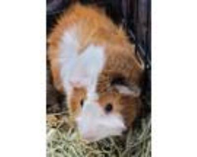 Adopt Bonnie a Guinea Pig