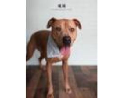 Adopt Susi a Pit Bull Terrier