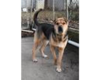 Adopt Ruby a Brown/Chocolate - with Black Shar Pei / Shepherd (Unknown Type) /
