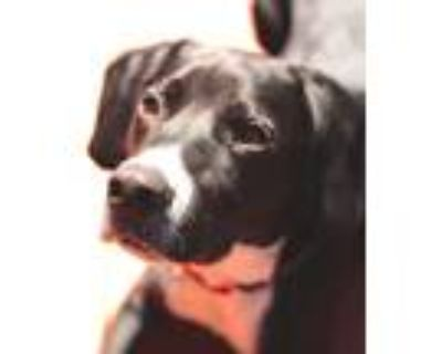 Adopt Marty a Black - with White Beagle / Hound (Unknown Type) / Mixed dog in