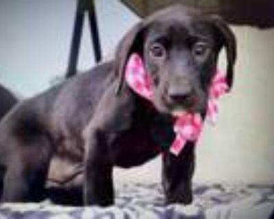 Adopt Zoey's Jade Lonestar a Black Labrador Retriever / Mixed dog in Rockaway