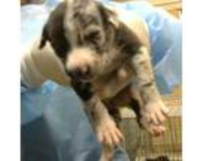 Adopt Gads Blooms a Black Australian Shepherd / Mixed dog in Mission