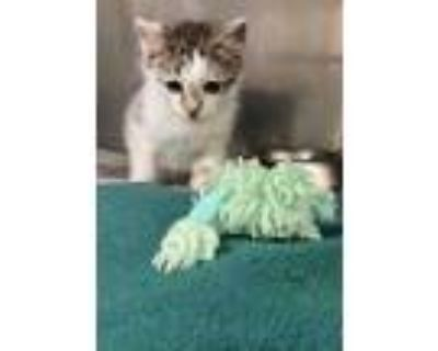 Adopt Doug a White Domestic Longhair / Domestic Shorthair / Mixed cat in Newport