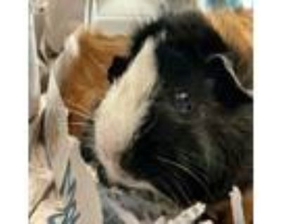 Adopt Tinker-VIP a Red Guinea Pig / Mixed small animal in Arlington