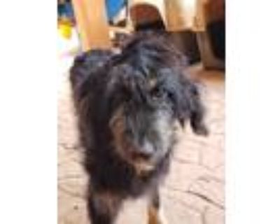 Adopt Ozzy a Black - with Tan, Yellow or Fawn Poodle (Standard) / Australian