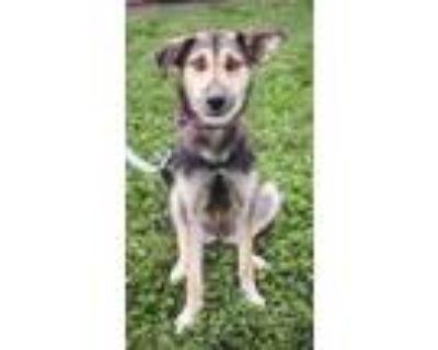 Adopt Lemonade a Black German Shepherd Dog / Mixed dog in Bloomingdale