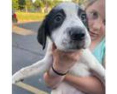 Adopt Vanilla Bean a Labrador Retriever, Shar-Pei