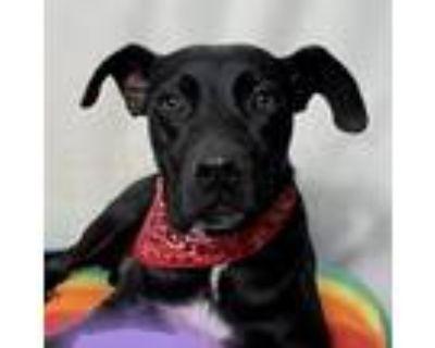 Meg, Labrador Retriever For Adoption In Huntsville, Alabama