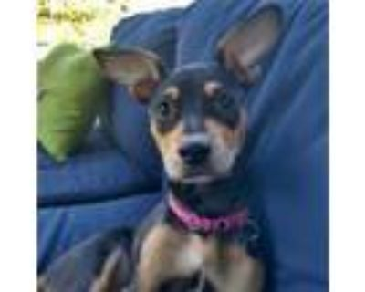 Adopt Lady a Rat Terrier, Mixed Breed