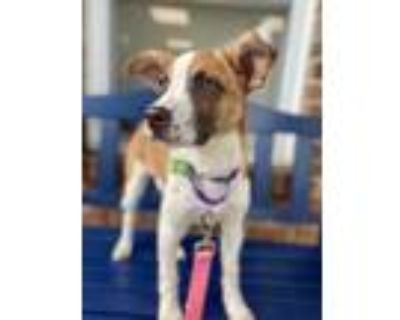 Adopt Hannah a White - with Brown or Chocolate Pointer / Hound (Unknown Type) /