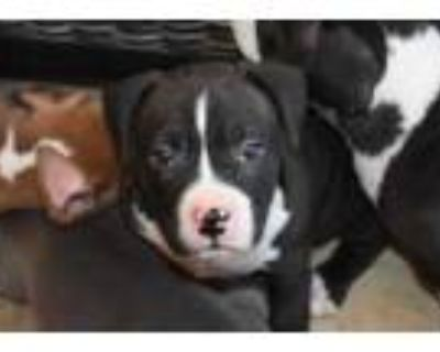 Adopt Cash a Black American Staffordshire Terrier / Mixed dog in Cumming