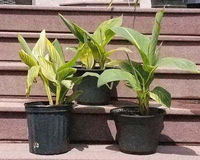 CAN'T FIND YOUR FAVOURITE TROPICAL CANNAS ANY LONGER AT THE GARDEN CENTERS? LOOK NO FURTHER! TAKE THESE HOME TODAY