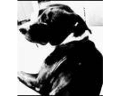 Adopt THOR a American Staffordshire Terrier, Labrador Retriever