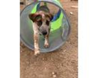 Adopt Cutter a Red/Golden/Orange/Chestnut - with White Pointer / Jack Russell