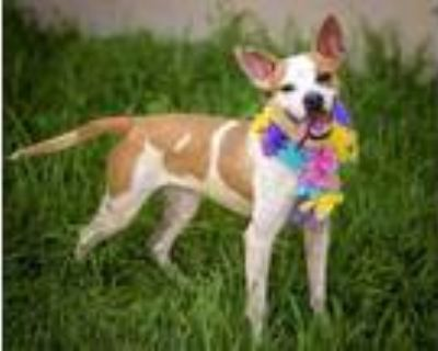 Adopt GYPSY a Tan/Yellow/Fawn - with White Basenji / Mixed dog in St.
