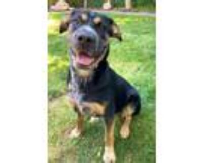 Adopt Maggie a Black - with Tan, Yellow or Fawn Cattle Dog / Shar Pei / Mixed