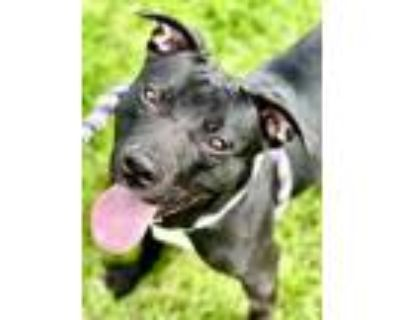 Adopt Mimosa a Black American Pit Bull Terrier / Mixed dog in Noblesville