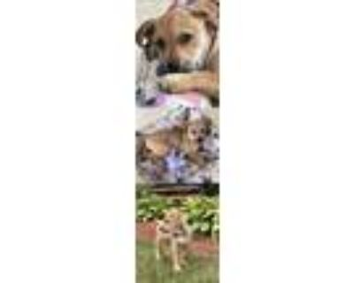 Adopt Emma June a Black Mouth Cur / Mixed dog in Chantilly, VA (31978691)