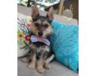 Adopt Link a Yorkshire Terrier