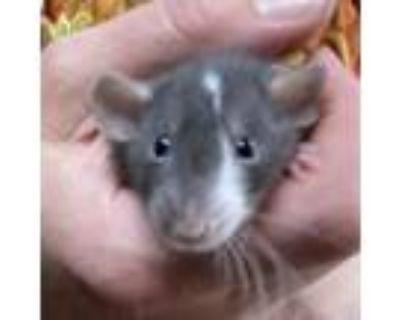 Adopt Peppermint a Rat