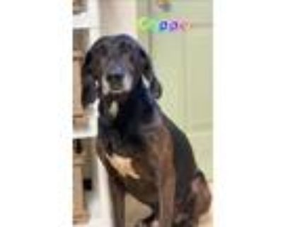 Adopt Copper a Brindle Hound (Unknown Type) / Mixed dog in Dahlonega