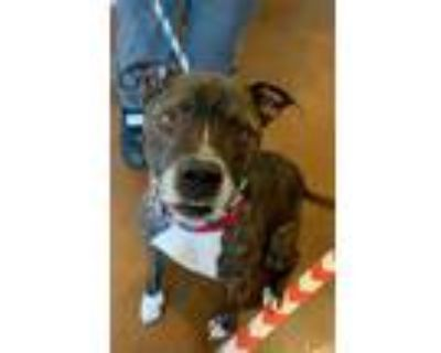 Adopt TONTO a Brindle Boxer / Mixed dog in Louisville, KY (30934372)