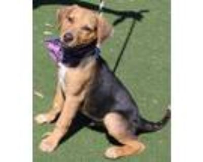Adopt Tonto (Main Campus) a Black Hound (Unknown Type) / Mixed dog in