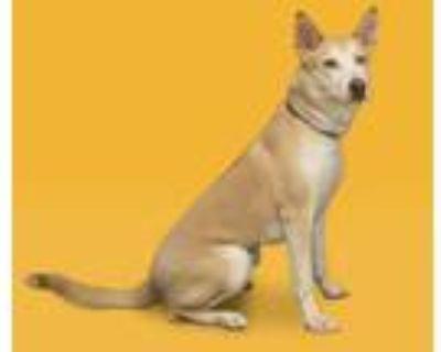 Adopt BELLA a Tan/Yellow/Fawn Husky / Labrador Retriever / Mixed dog in Houston